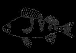 Картинка для выжигания Рыба